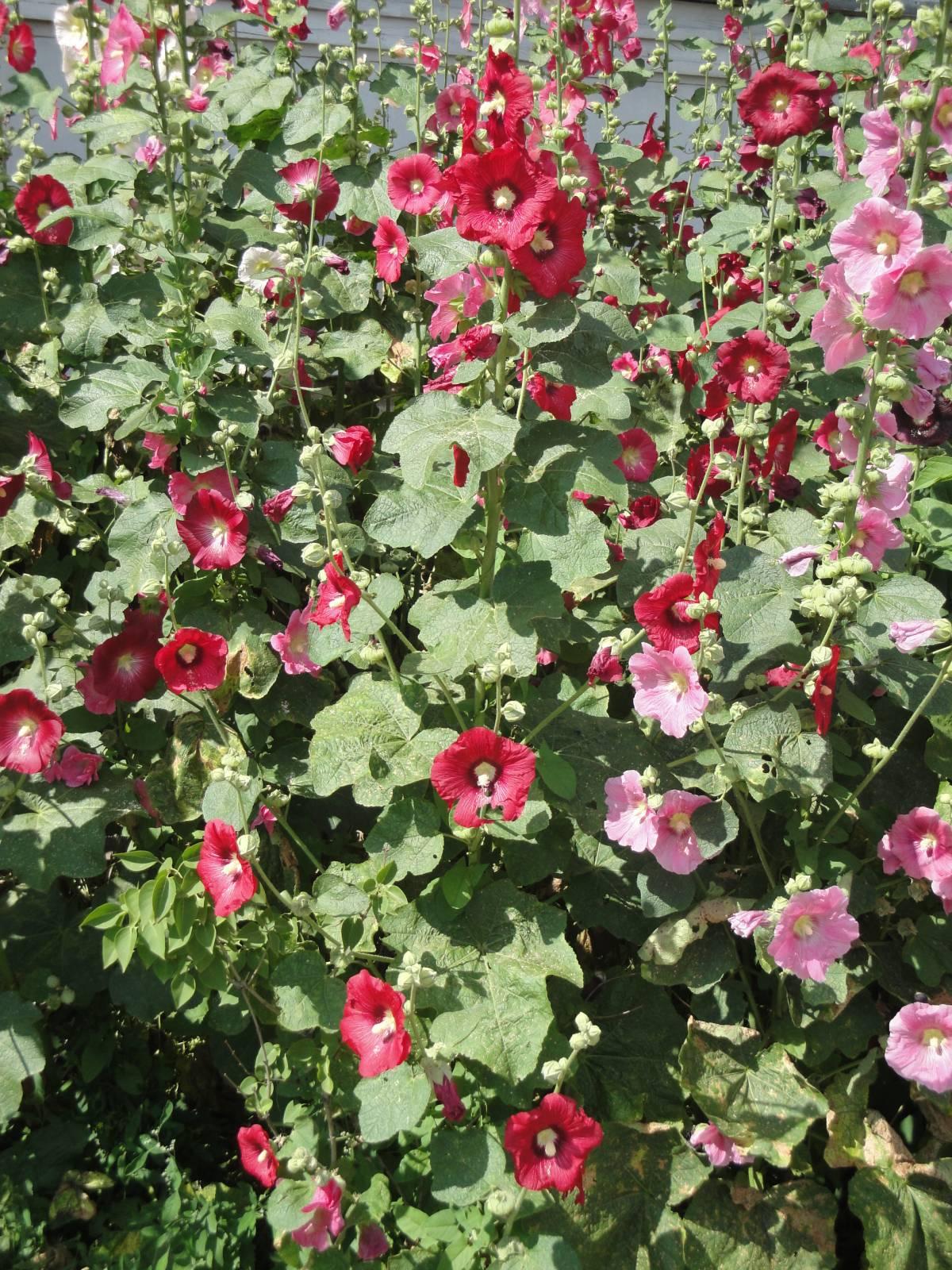 Цветы в саду мальва фото
